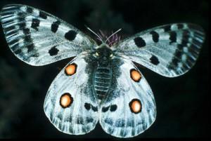 Tipos de mariposas Papiliónidos