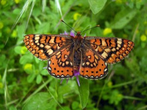 Tipos de mariposas ninfálidos