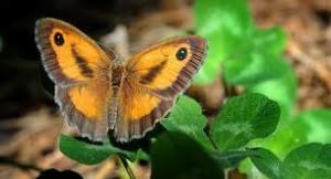 Tipos de mariposas satíridos