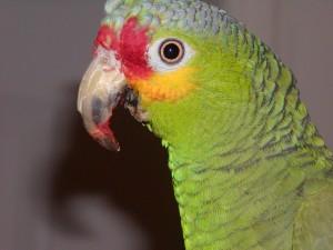 Tipos de pericos Amazona fretirroja
