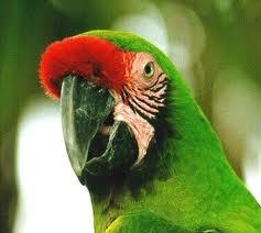 Tipos de pericos: Guacamayo verde