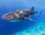 Tipos de tiburones