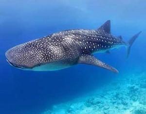 Tipos de tiburones ballena