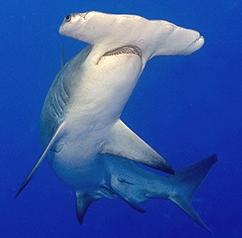 Tipos de tiburones martillo